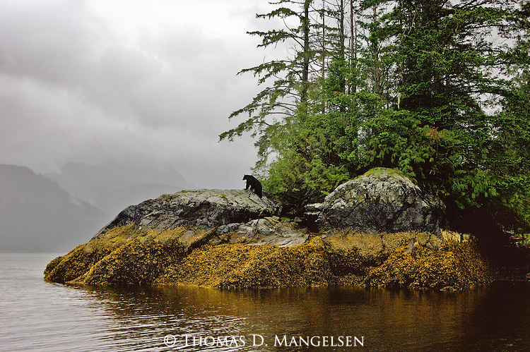 Symbolic of wildness and of British Columbia's Rain Coast, a lone black bear pauses to survey his domain.