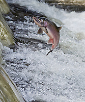 RP0904-Dv. Coho Salmon (Oncorhynchus kisutch) swimming upstream to spawn, here a male is jumping out of river to clear small rapids. Washington, USA. Cropped to vertical from native horizontal format.<br /> Photo Copyright &copy; Brandon Cole. All rights reserved worldwide.  www.brandoncole.com