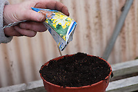 Sowing Cowslip seeds in a plant pot in a greenhouse.