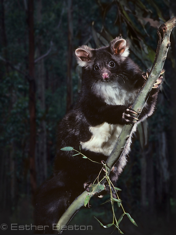 Greater Glider (Petauroides volans) dark phase, highland forest of New South Wales. Threatened species