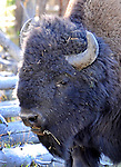 Buffalo Bison Yellowstone Wyoming,American bison (Bison bison) is North American species of bison known as American buffalo, buffalo, bison, ox-like, bison or buffalo roamed grasslands of North America in massive herds,