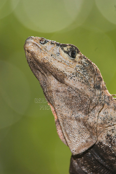 Black Iguana, Ctenosaur, Ctenosaura similis, adult, Manuel Antonio National Park, Central Pacific Coast, Costa Rica, Central America
