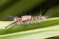 A Fir Tussock Moth (Orgyia detrita) caterpillar perches on a saw palmetto leaf.
