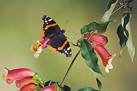 Red Admiral, Vanessa atalanta, adult on Cross Vine (Bignonia capreolata), Uvalde County, Hill Country, Texas, USA, April 2006