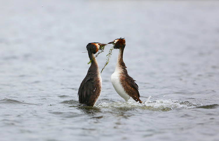 Great Crested Grebe - Podiceps cristatus - courting pair. L 46-51cm. Graceful waterbird with slender neck and dagger-like bill. White wing panels revealed in flight. Dives frequently. Sexes are similar. Adult in summer has grey-brown upperparts and mainly whitish underparts; head has black cap and crest, and orange-buff ruff bordering paler cheeks. Bill is pink and eye is red. In winter, has drab grey-brown and white plumage. Juvenile recalls winter adult but has dark stripes on cheeks. Voice Utters wails and croaks in breeding season. Status Locally common breeding species on lakes and reservoirs. Widespread in winter, when also found in inshore seas.