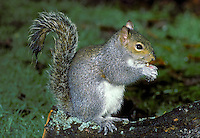 Grey Squirrel Sciurus carolinensis Length 45-55cm Abundant rodent. Introduced to Britain, now the most familiar squirrel. Diet is omnivorous and renowned for its cunning in exploiting food sources. Adult has plump but elongated body and long bushy tail. Rounded ears lack ear tufts. Coat is mainly grizzled grey with whitish chest and belly. Some individuals are variably tinged with brown in summer. Utters teeth-smacking 'tchack' when alarmed. Native to North America, introduced here in 1876. Now widespread and common, its adaptability allowing it to thrive in woods, parks and gardens.