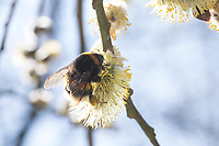 Erdhummel, Erd-Hummel, Weibchen, Blütenbesuch an Salweide, Sal-Weide, Salix caprea, mit Pollenhöschen, Bombus spec., Bombus, bumblebee