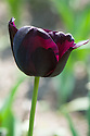 Tulip 'Paul Scherer' (Triumph Group), late April. Sometimes spelled 'Paul Scheerer'.