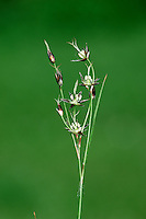 SOUTHERN WOOD-RUSH Luzula forsteri. Similar to Field Wood-rush L. campestris. Has stalks of inflorescence always erect, even in fruit. Shady places in S England only.