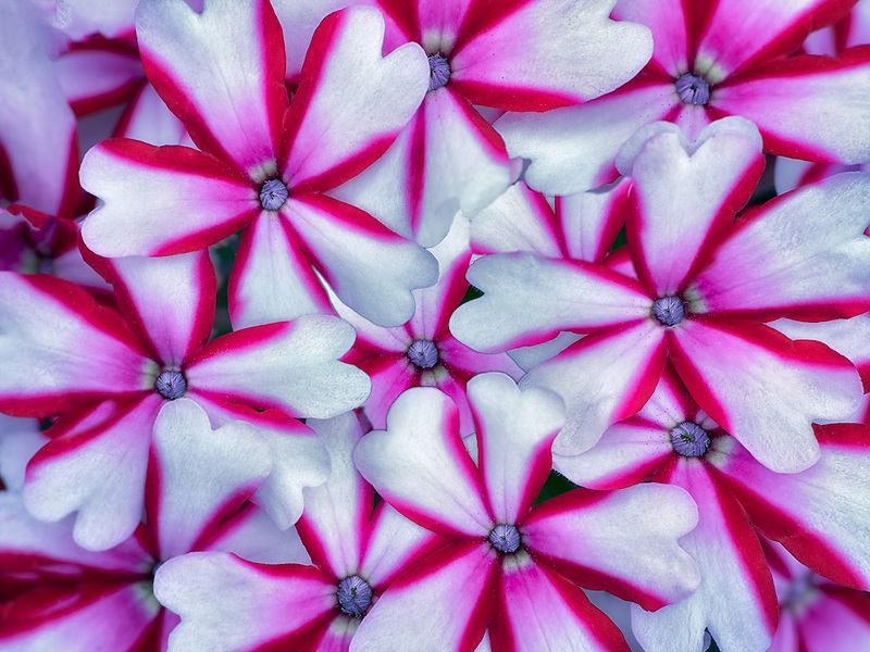 Close up of red and white Phlox flowers.