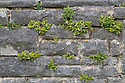 Wall Rue Spleenwort (Asplenium ruta-muraria) growing out of a stone wall. Derbyshire, UK. August.