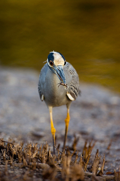 Yellow-crowned Night Heron (Nyctanassa violacea) with a crab in its bill, Ding Darling National Wildlife Refuge, Florida, USA
