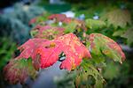 9.24.18 - Autumn Leaves...