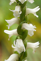 Spiranthes cernua Chadd's Ford Hardy Orchid closeup showing natural spiral pattern of stem and flowers