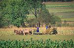 Six horse team. Amish harvesting corn. Nippenose Valley, PA. 2002
