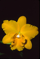 Rhyncattleanthe Sunstate's Ted-and-Alice 'Passion', orchid hybrid of Cattlianthe Hazel Boyd x Rhyncattleanthe Yellow Imp, 1993 intergeneric hybrid)