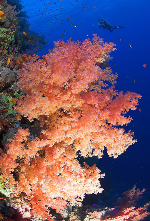 Softcoral Dendroephthya sp. wih diver in background, Southern Egyptian Red Sea