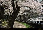 Asahi River Pathway Sakura Korakuen Okayama Japan