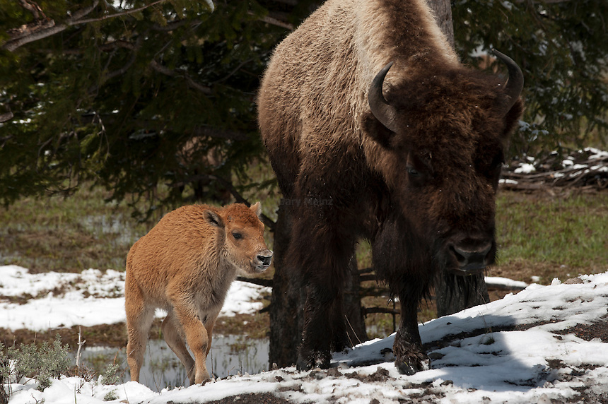 Bison cow and calf in Yellowstone in spring.