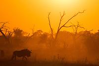 Wildebeest in silhouette in dusty, Savute habitat