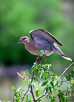 White-winged Dove, Zenaida asiatica, preening in a hackberry tree in Arizona. Arizona.