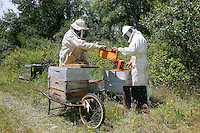 Harvesting honey.