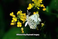 03071-00211 Falcate Orangetip butterfly (Anthocharis midea) female on Common Winter Cress (Varvarea vulgaris), Marion Co.  IL
