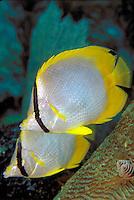 Spotfin Butterflyfish in Pennekamp Park off Key Largo, Florida Keys