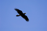 Common Raven (Corvus corax) flying.