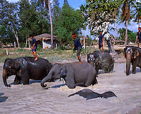 Indian Elephants cooling down in the river. Bali Indonesia.