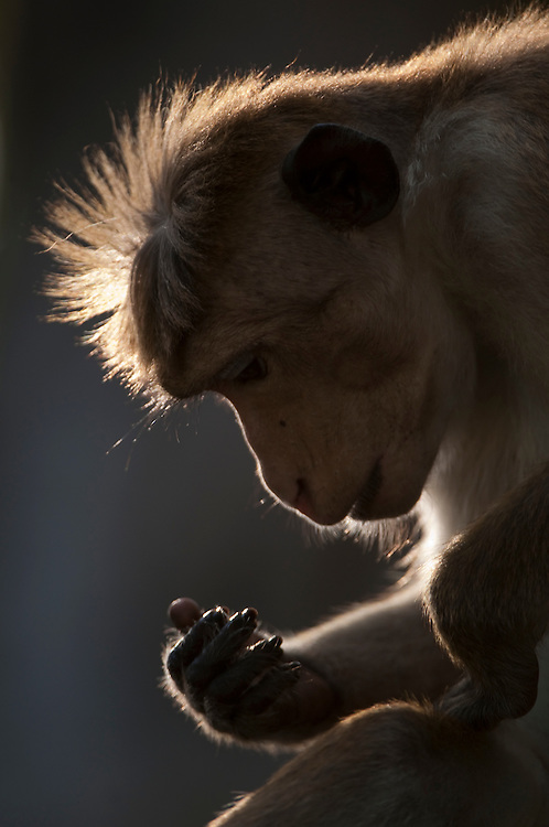 After picking a wound on his leg a male toque macaque looks at the dirt on his hand. He is nine years old, named Fuyam and part of group B1 (as denoted by the Smithsonian Research centre). Archaeological reserve, Polonnaruwa, Sri Lanka. IUCN Red List Classification: Endangered