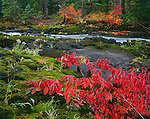 Rogue River National Forest, OR<br /> Red-osier Dogwood (Cornus stolonifera) in fall color spreading across mossy basalt on the bank of the Rogue River at Natural Bridge