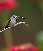 Male Juvenile Ruby Throated Hummingbird perched on a branch with his tongue protruding