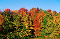 Colorful fall foliage on New England trees.