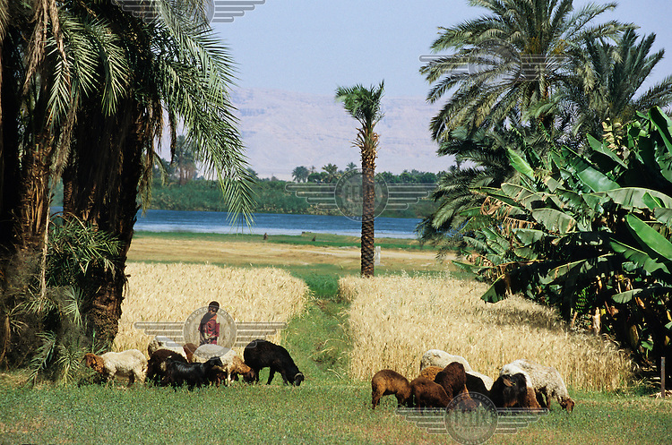 A young shepherd tends a flock of sheep on pasture at the edge of the River Nile..