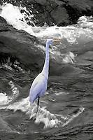 Great Egretin rushing water.