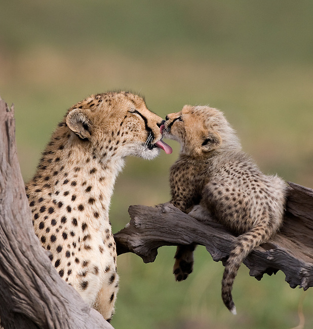 Mother cheetah and young cub give affectionate licks.