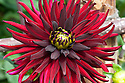 Dahlia 'Chat Noir', late August. Deep-red, semi-cactus form.
