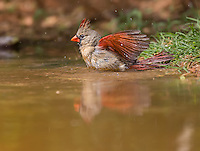 Female Northern Cardinal taking a birdbath in a puddle