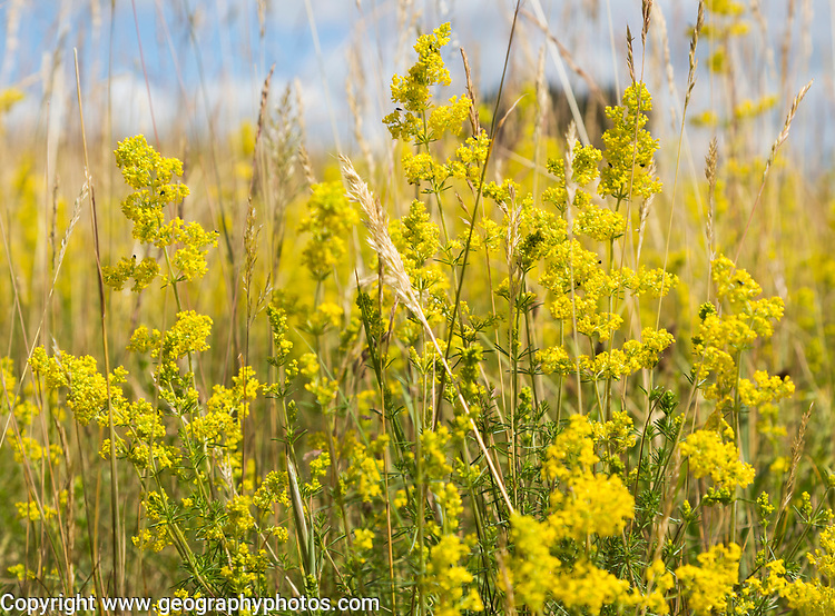 Lady's bedstraw, Galium verum, yellow flowers in summer growing at Sutton, Suffolk, England, UK