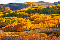 Late afternoon back & side lit hillside along Hwy 12 on Boulder Mountain, Utah. Miles and miles of aspens in all their glory, 10-9-14