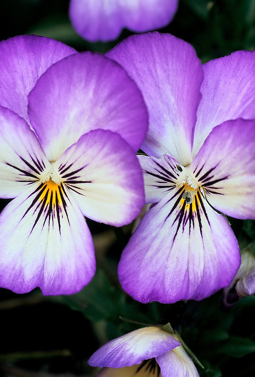 Close-up of delicate pair of purple Viola 'Princess' flowers in Spring, Vancouver, BC
