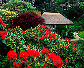 Tom Mackie, FLOWERS, photos, Thatched Cottage & Rhododendrons, Lanhydrock, Bodmin, Cornwall, England, GBTM87882-2,#F# Garten, jardín