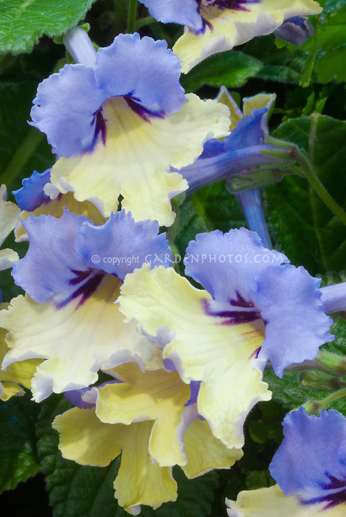 Streptocarpus Harlequin Blue, bicolored blue and yellow RHS Chelsea Flower Show 2010 Plant of the Year