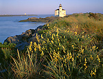 Coos County, OR<br /> Sulfur lupine (lupinus sulphureus) blooming on the shores of the Coquille River near the Coquille River Lighthouse (1896) at Bullards Beach State Park