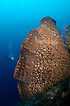 An elephant ear sponge dwarfs a distant diver, Nusa Laut, Banda Sea, Moluccus, Indonesia, Pacific Ocean