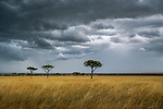 A fast moving storm passes over the dry savannah of Kenya's Masai Mara country.  As the annual rains  return to this parched landscape the beige grasses are miraculously transformed into luxuriant green.  Shortly thereafter millions of wildebeests, zebras, and gazelles move north out of the vast Serengeti Plains, following the sweet smell of new grass.<br />