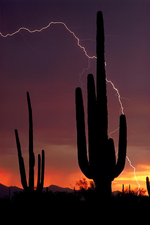 Lightning bolt and saguaro cacti silhouetted at sunset; Saguaro National Park, AZ