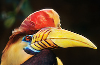 548873002 a captive zoo animal male knobbed hornbill acereos cassidix portrait - species is native to suluwasi and surrounding islands in indonesia