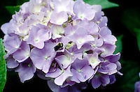 HYDRANGEA FLOWER COLOR VARIES WITH SOIL pH<br />